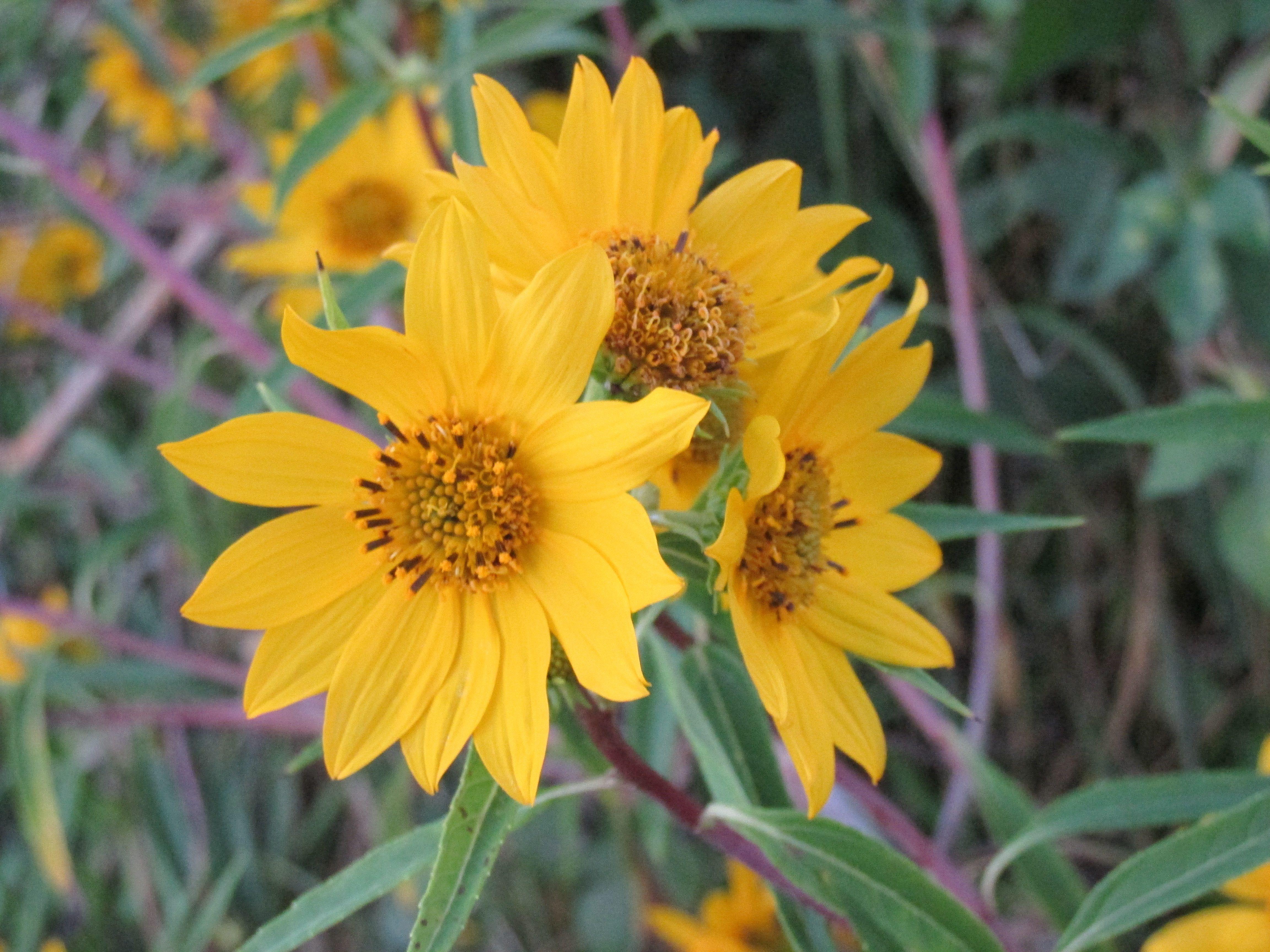 Fall Little Sunflower Wildflower Along The Roadside Plants Wild Flowers Growing Plants