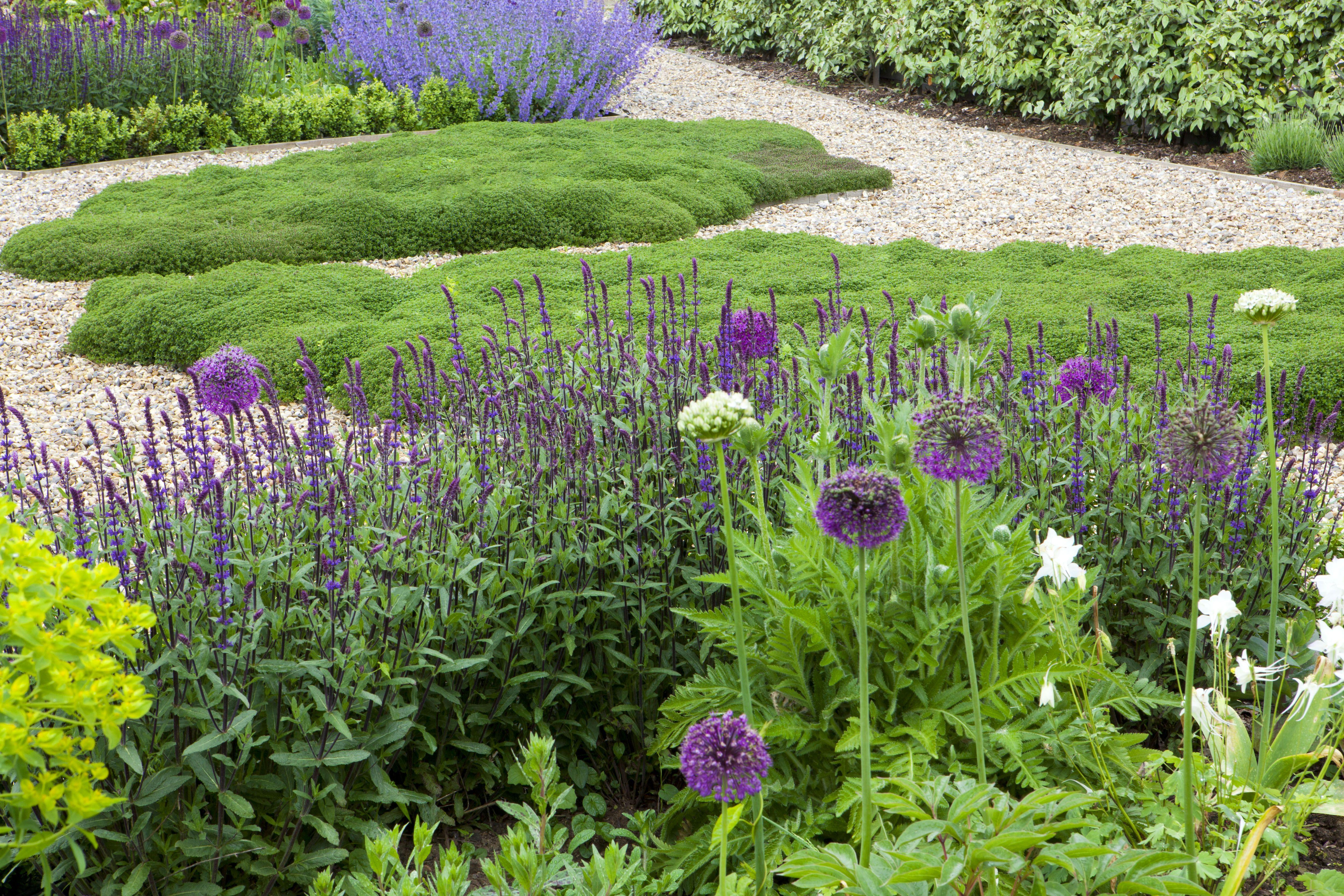 salvia nemorosa caradonna salvias pinterest gardens the o 39 jays and design. Black Bedroom Furniture Sets. Home Design Ideas