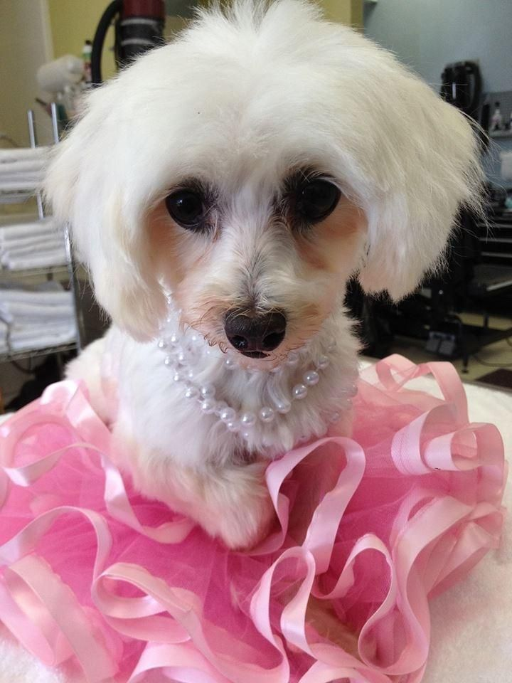 Adopt Lady On Maltese Poodle Mix