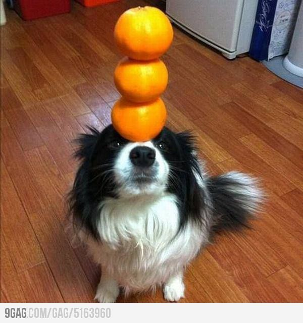 It got talent!   Can dogs eat oranges, Can dogs eat ...