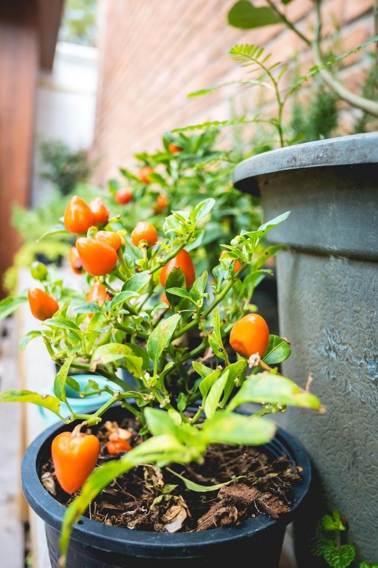 paprika - pflanzen, pflege und tipps | paprika, töpfchen und pflanzen, Gartengerate ideen