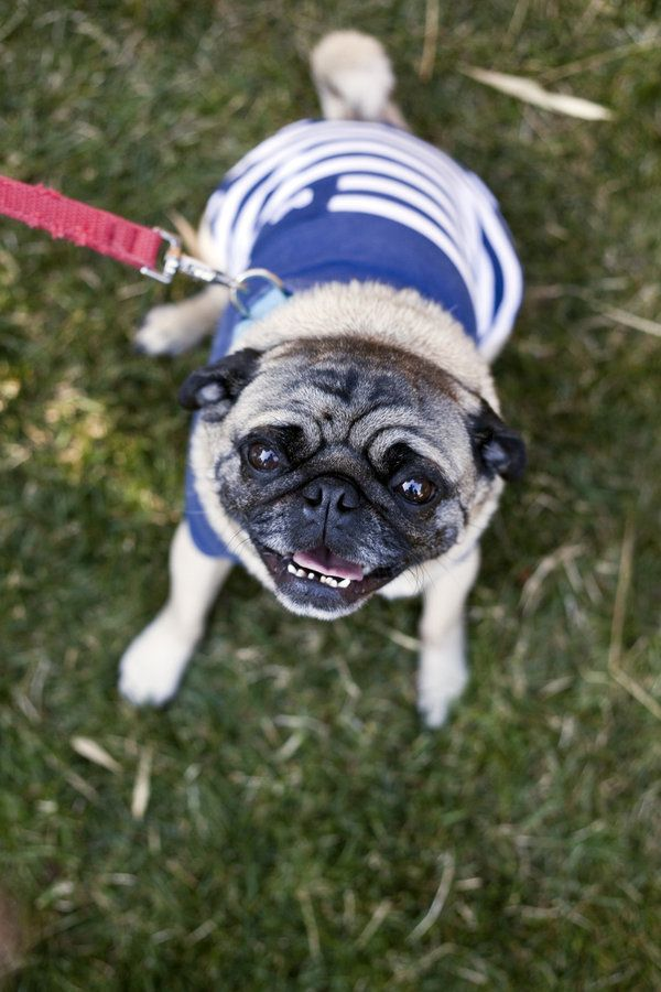 is there anything better than a pug in a nautical sweater?