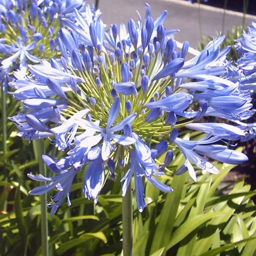 Agapanthus Blue Donau 3 Plants Pkg Ships March Thru June