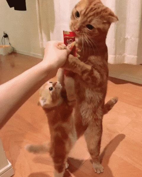 Британский короткошерстный котенок фото распустил гильдию