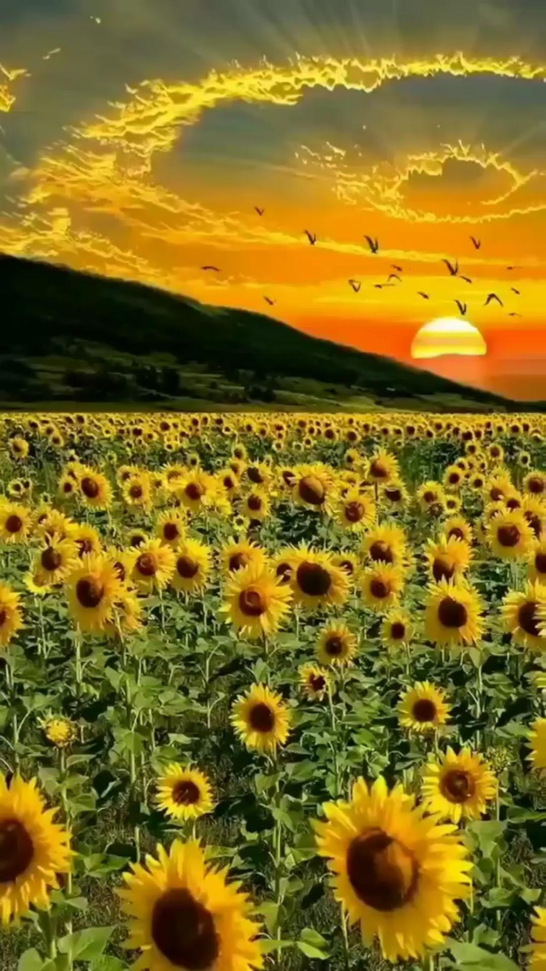 Sunrise ⛅️ Sun Flowers 🌸