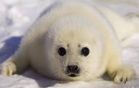 Image result for baby seals
