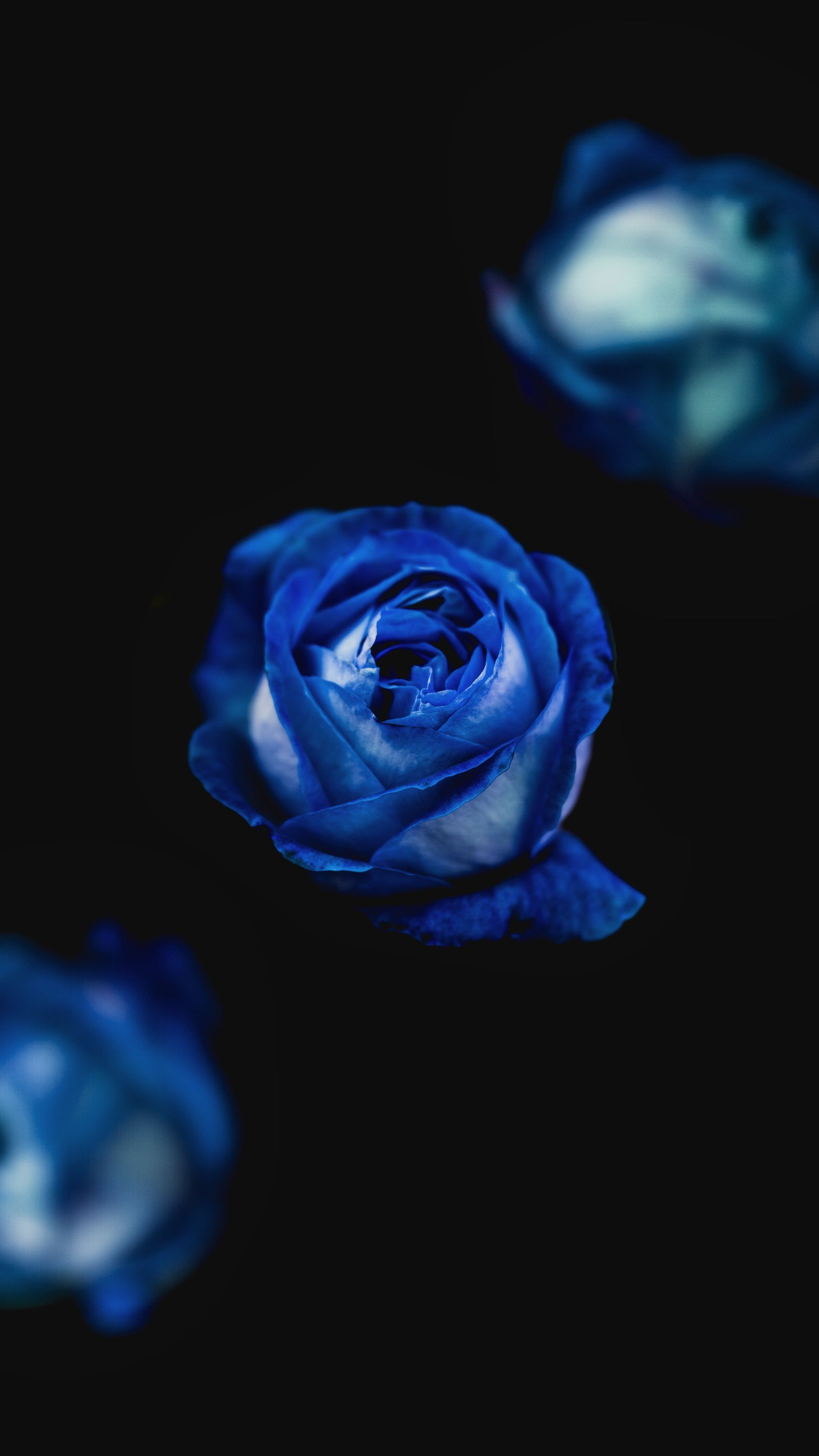 Hd Wallpaper Bluerose Wallpaper Blue Gardenroses Rose Photograph Huawei Download Photo By Acea Alexandru Blue Roses Wallpaper Blue Roses Blue Rose Picture