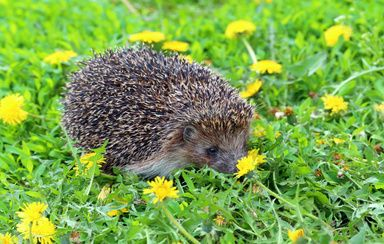 Image of a hedgehog on the grass