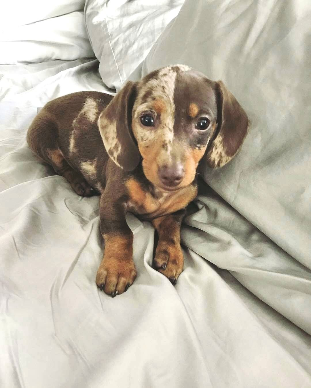 Pin By Akoehn On Cute In 2020 Dachshund Puppies