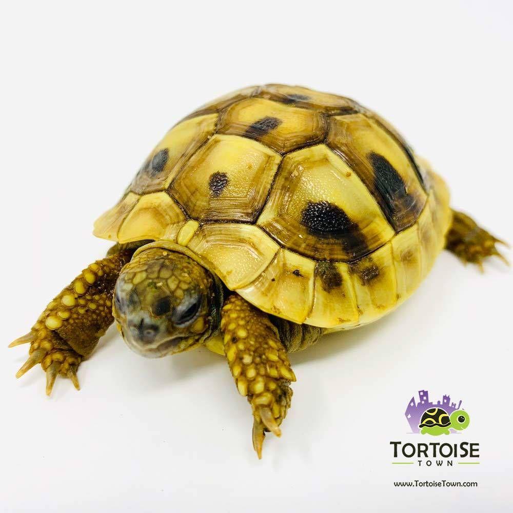 Hermanns Tortoise For Sale Buy Baby Eastern Hermann Tortoises For Sale Hermann Tortoise Tortoises Tortoise As Pets