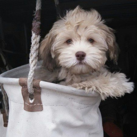 Havanese Poodle Yorkshire Terrier Puppies For Sale Havapoo Puppies Poodle Mix Breeds Yorkshire Terrier