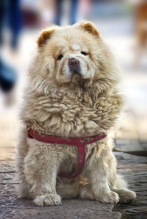 Amazing Chow Chow Chubby Adorable Dog - 72789e9b51751fb00dd1d82cc6efe272  Collection_227997  .jpg