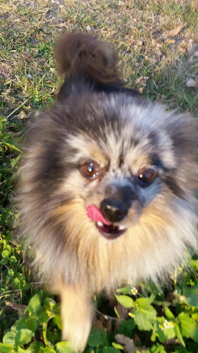 Adopt Marley On Pomeranian Dog Marley Adoption