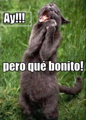 Ay Pero Que Bonito Meme Gato Spanish Humor Funny Cats Humor