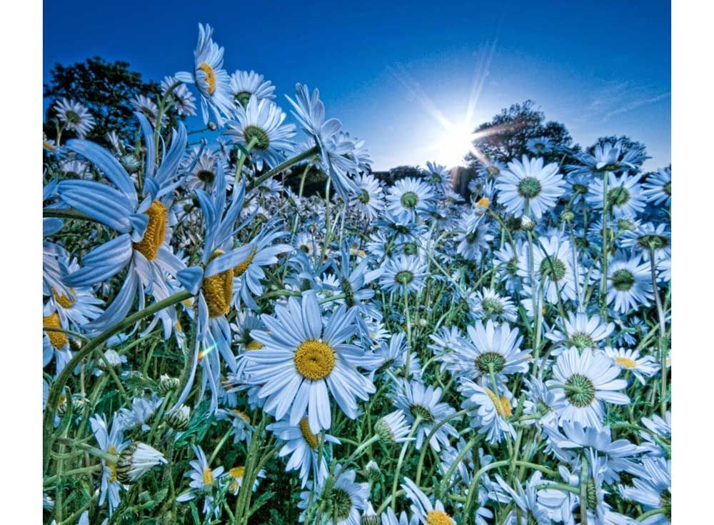 Картина по номерам «Ромашковое поле»   Ромашки, Цветы и ...