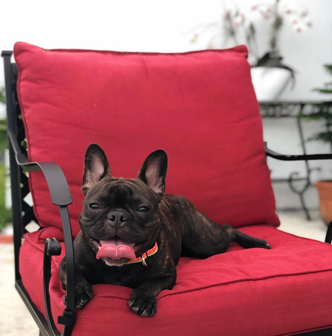 Customer Highlight We Love Seeing Awesome Pictures Like This One From Our Petland Pups In Their Happy Homes This Is Frenchie Puppy Puppies French Bulldog