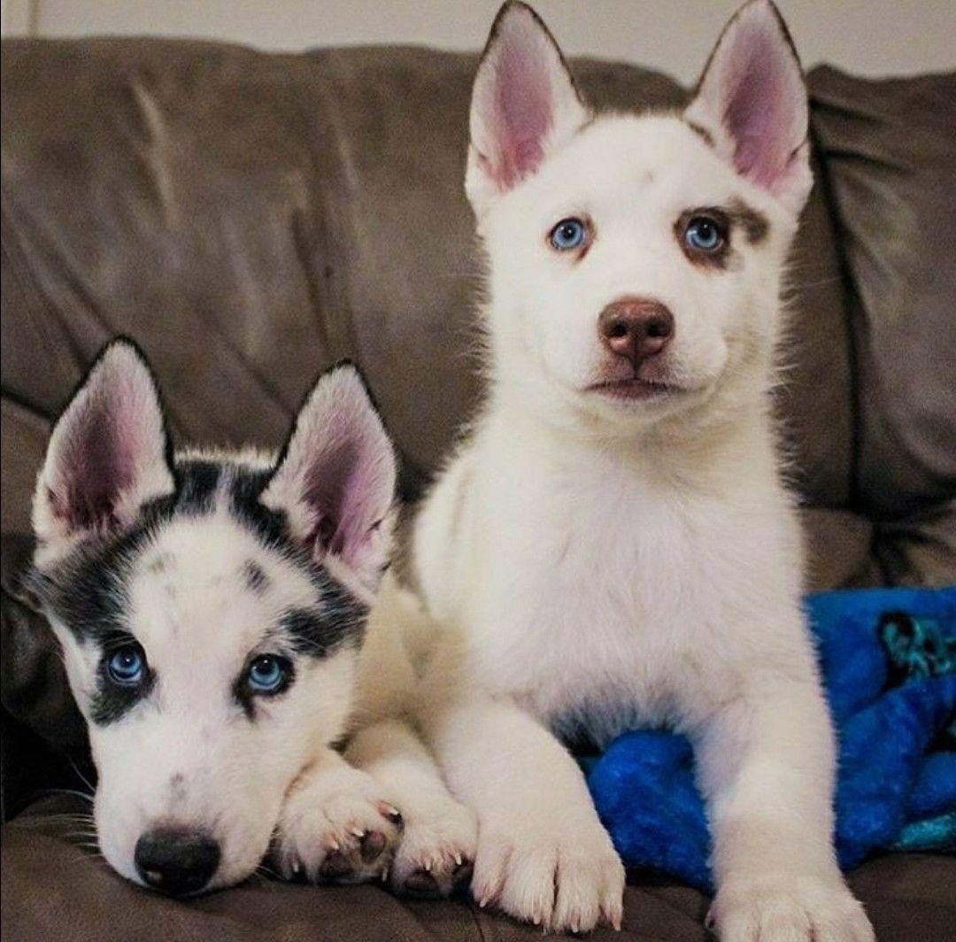 Siberian Husky Puppies Rottweiler Puppies Cute Animals Husky Puppy