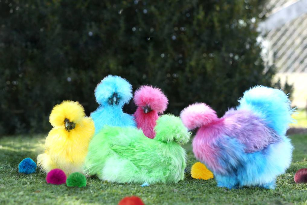 OMG We\'re Breeding Rainbow Chickens (and They Poop Pom Poms ...