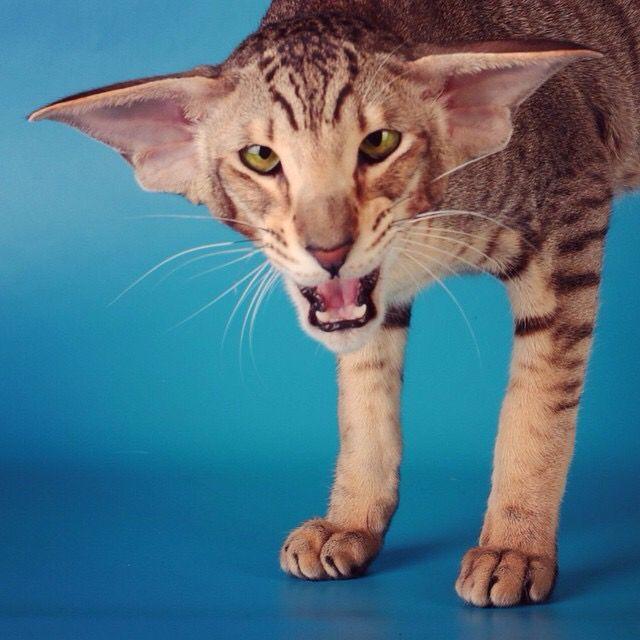 Oriental Shorthair Cat With Huge Big Ears Oriental Shorthair Cats Cats Oriental Shorthair