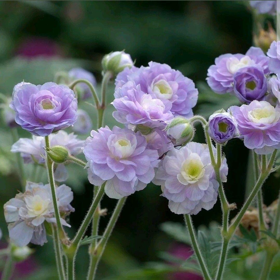 редкие садовые цветы фото и названия вместе новая