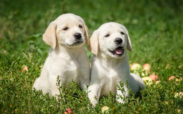 Telecharger Fonds D Ecran Les Labradors Blanc Chiots Retrievers De L Herbe Verte 4k Des Animaux Mig Labrador Dog Labrador Retriever Dog Labrador Retriever