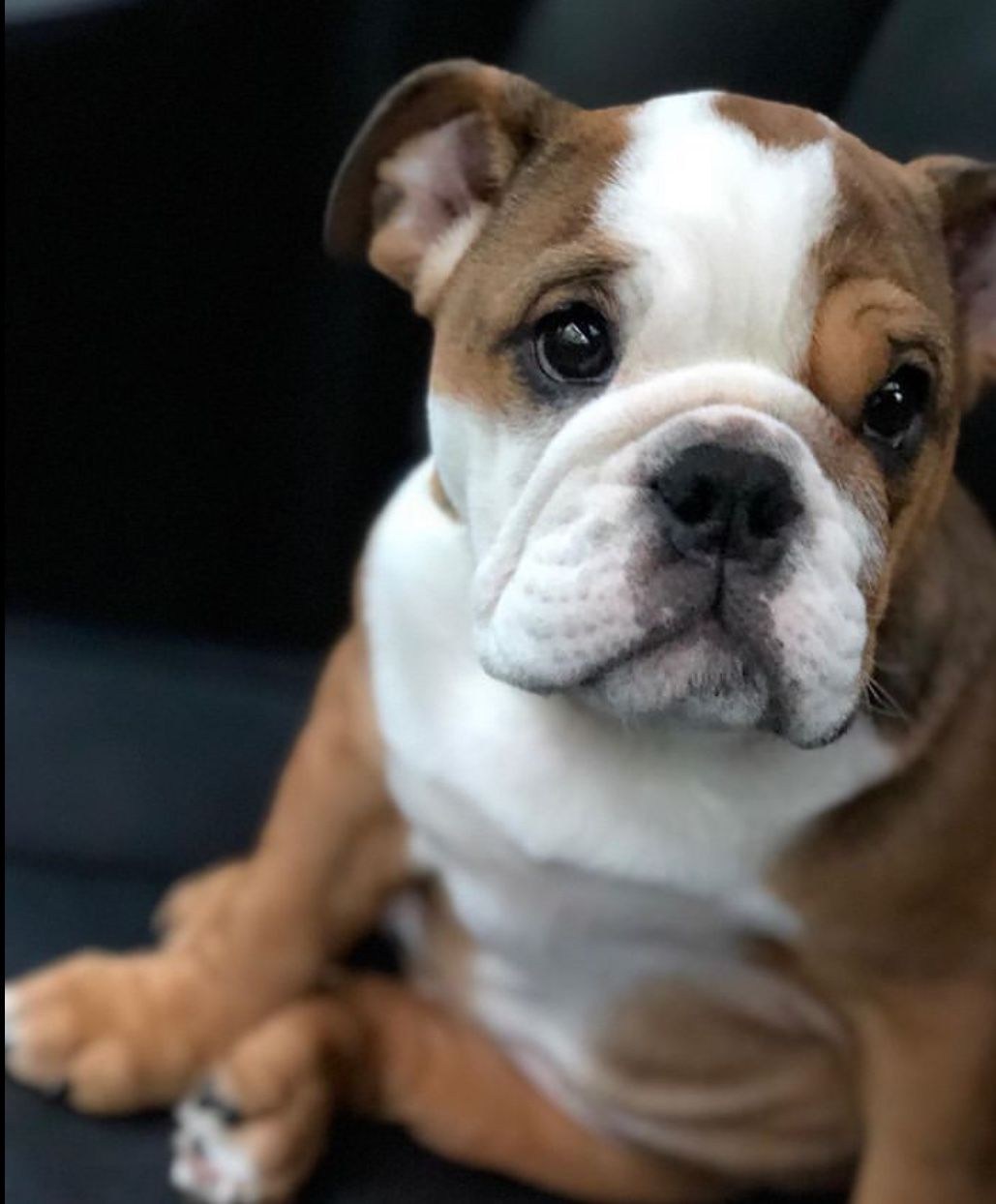 Youtube Bulldog Puppies English Bulldog Puppies Cute Puppies