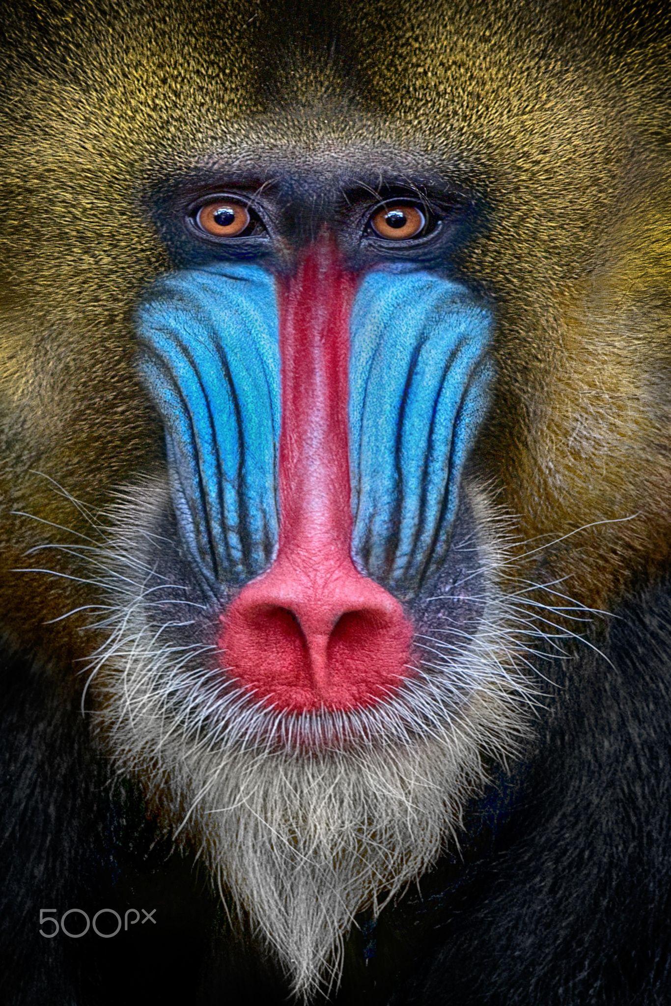 Shot Coloured Mandrill Portrait Mandrill Pavian Ungewohnliche Tiere