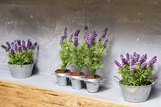 How To Grow Lavender In Every Climate Garden Fun Growing