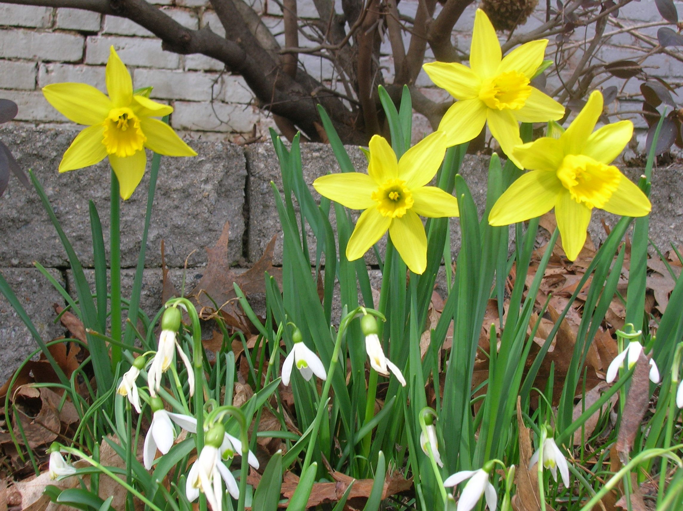 Some Of My First Spring Flowers Snow Drops And Little Tete A Tete
