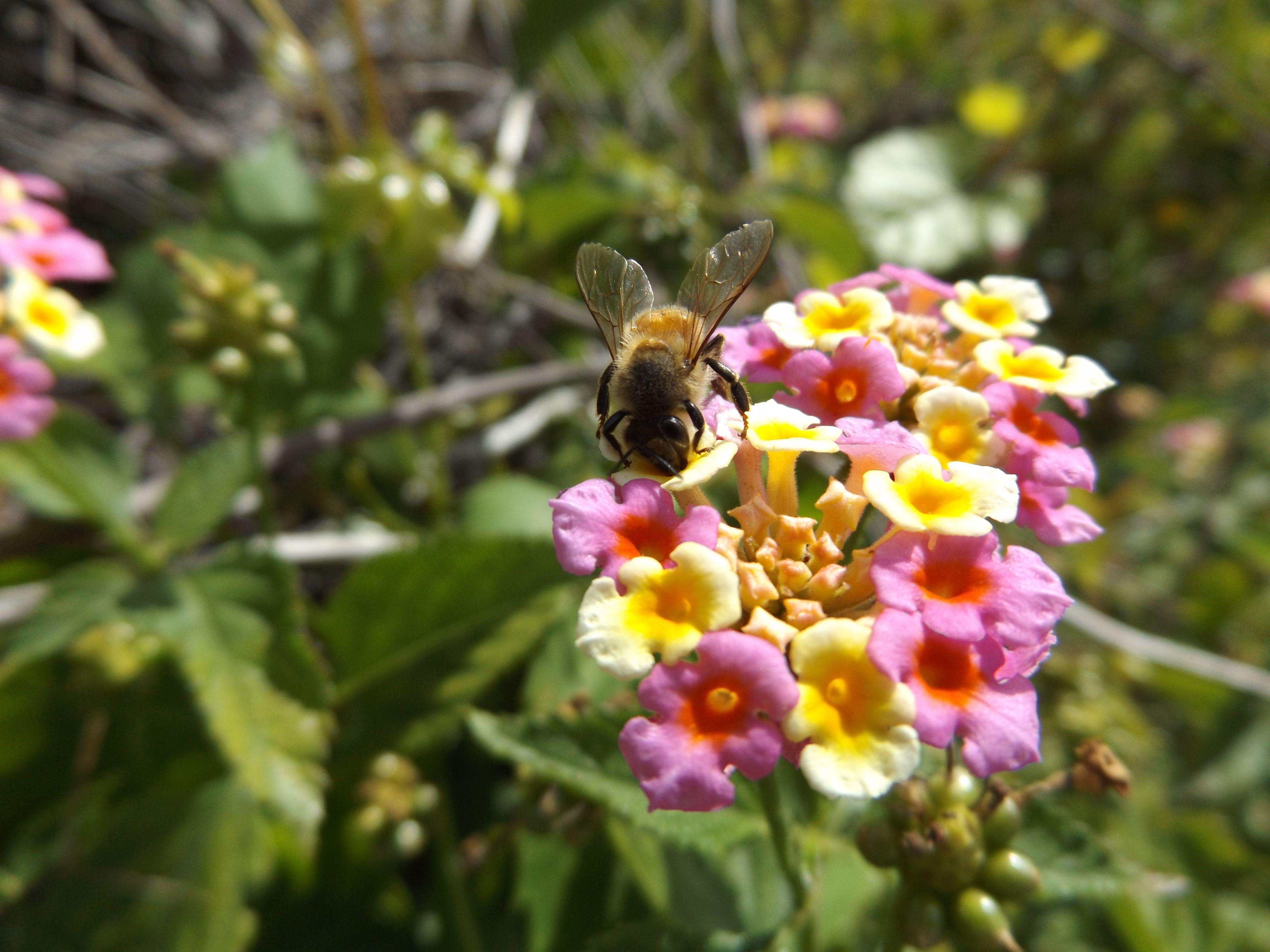 Bee On Lantanna Camara Flower Wild Flowers Flowers Bee