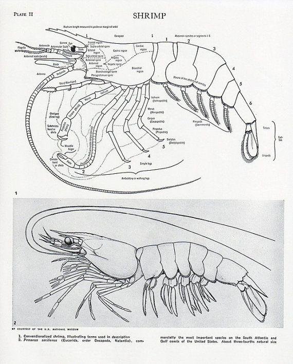 Marine Arthropods - SeaTurtleCamp  |Phylum Arthropoda Marine