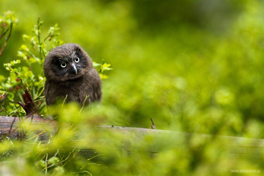 Peter Krejzl, Boreal Owl