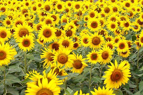 Sunflower Farming In India