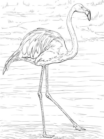 Flamant Des Caraibes Ou Flamant Rouge Coloriage Flamant Rose