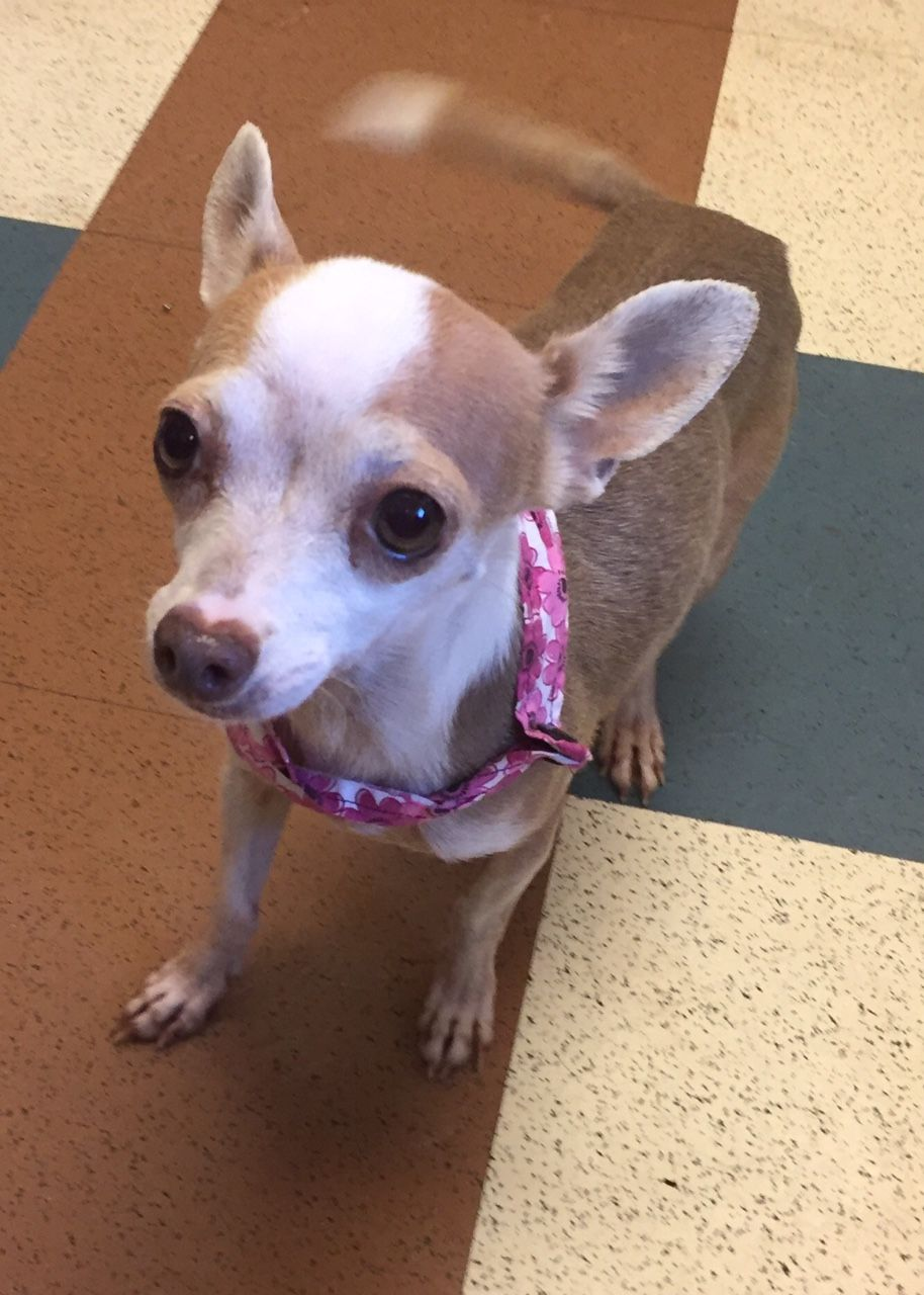 Chihuahua Dog For Adoption In Dallas Tx Adn 603916 On