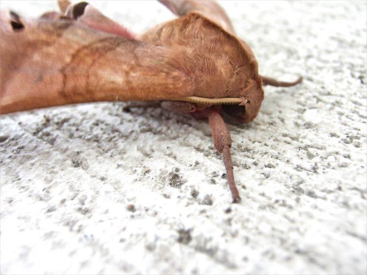 枯れ葉にそっくり 茶色の波模様の蛾 モモスズメ 蛾 波模様