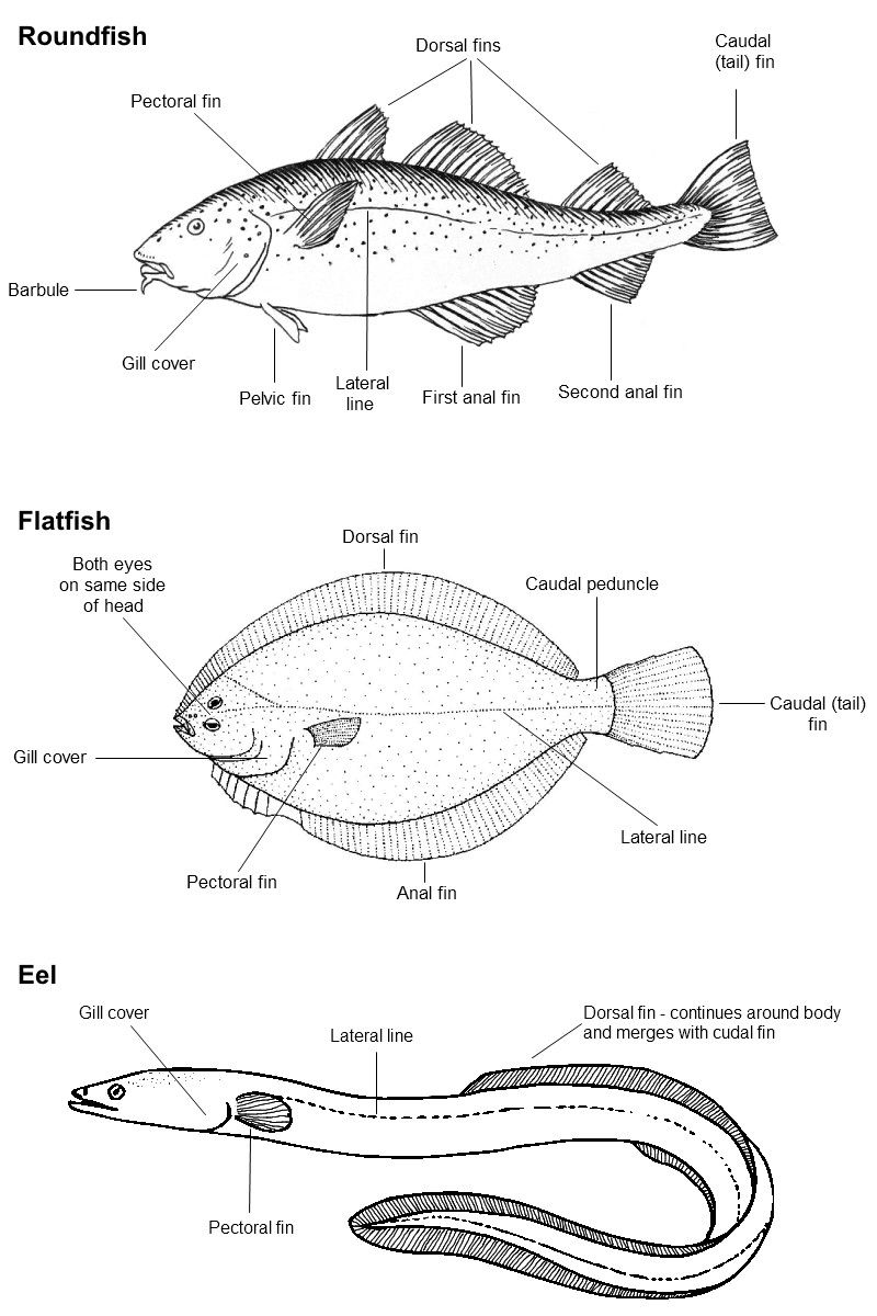 Labelled Diagram Of A Fish Best Of Identifying Uk Sea Fish In 2020 Sea Fish Animal Facts Fish