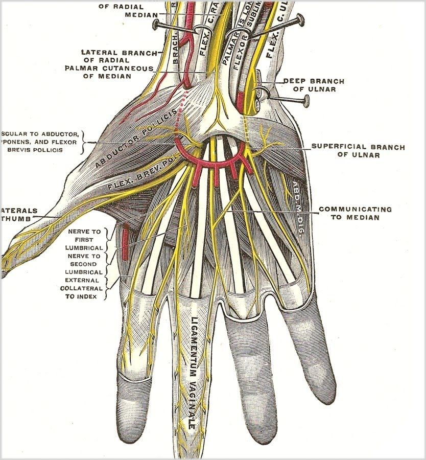 Diagrams Of The Hand And Wrist Nerves - Explore Schematic Wiring ...