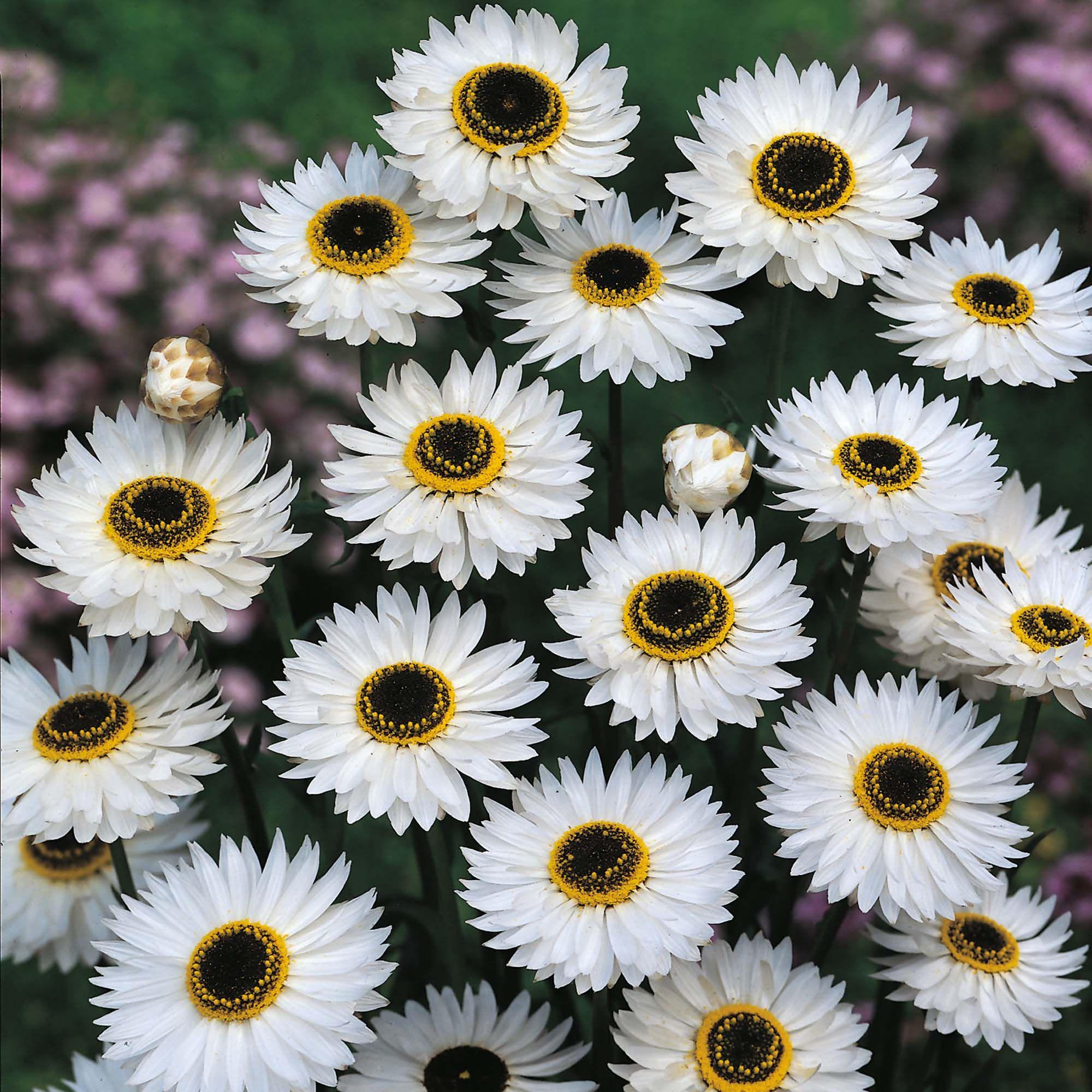 Helipterum pierrot white daisylike strawflowers with