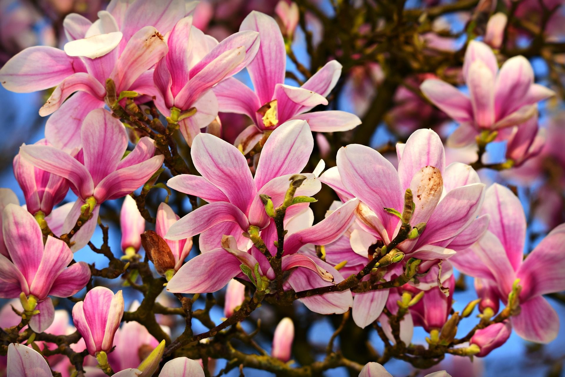 Hope You Have A Fabulous Magnolia Spring This Year Magnolia Trees Magnolia Trees For Sale Early Spring Flowers