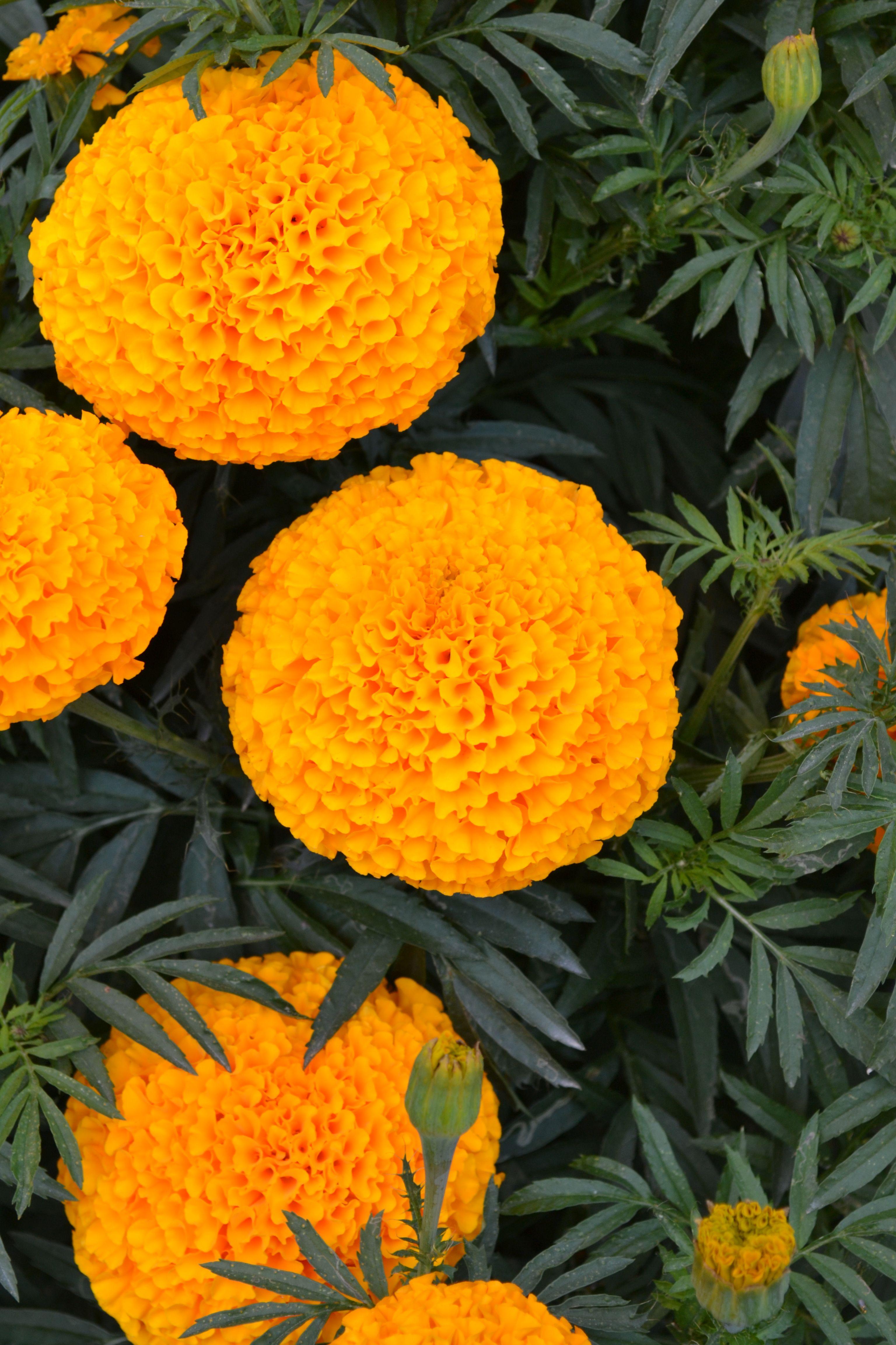 Orange KIMCO marigold flower Marigold flower, Flowers