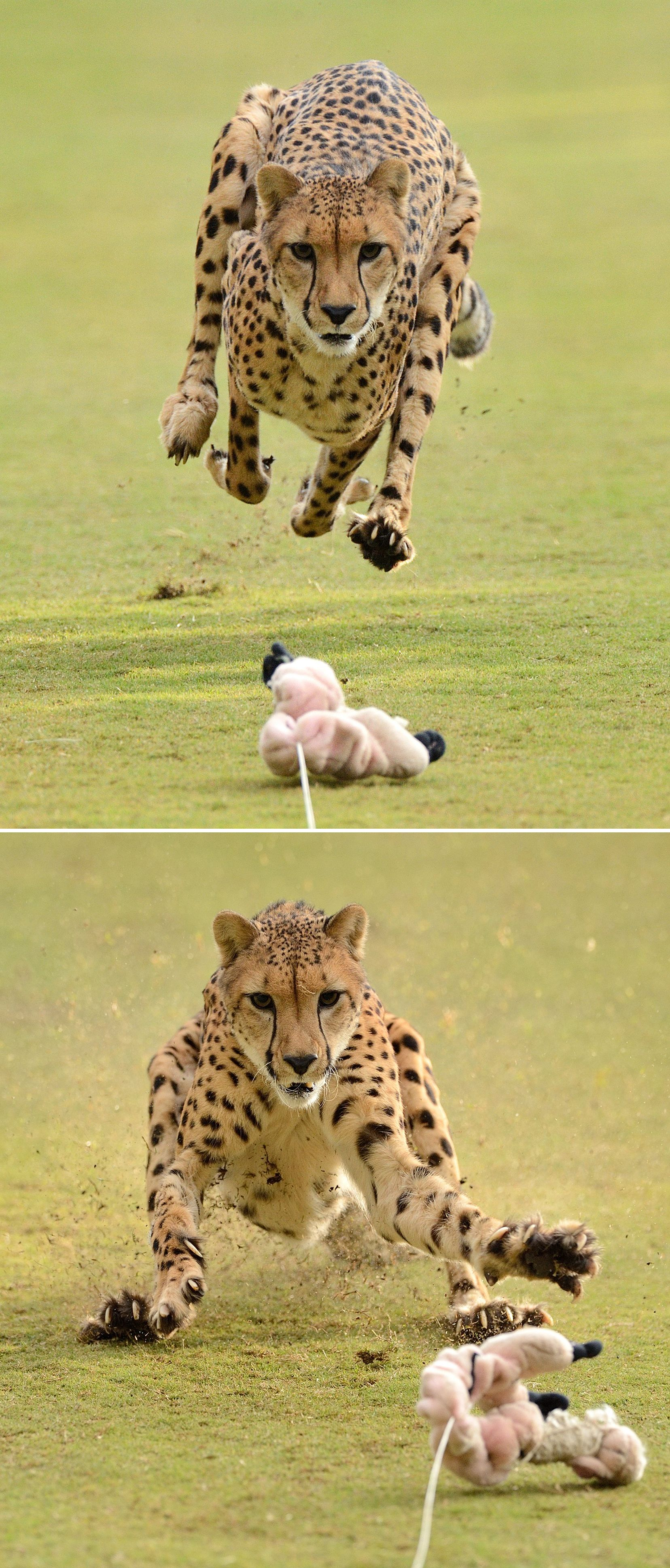 During Cheetah Run, the spotted sprinter races on a straight 330-foot-long track that allows the cheetah to really stretch its legs and reach an astounding speed: 0 to 70 miles per hour in just 4 seconds while chasing a mechanical lure attached to its favorite toy. (photos: Mike Wilson)