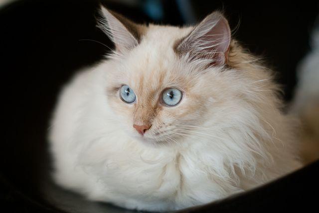 Moje Koty Dzika Bestia Mała Domowa Hodowla Kotów Syberyjskich
