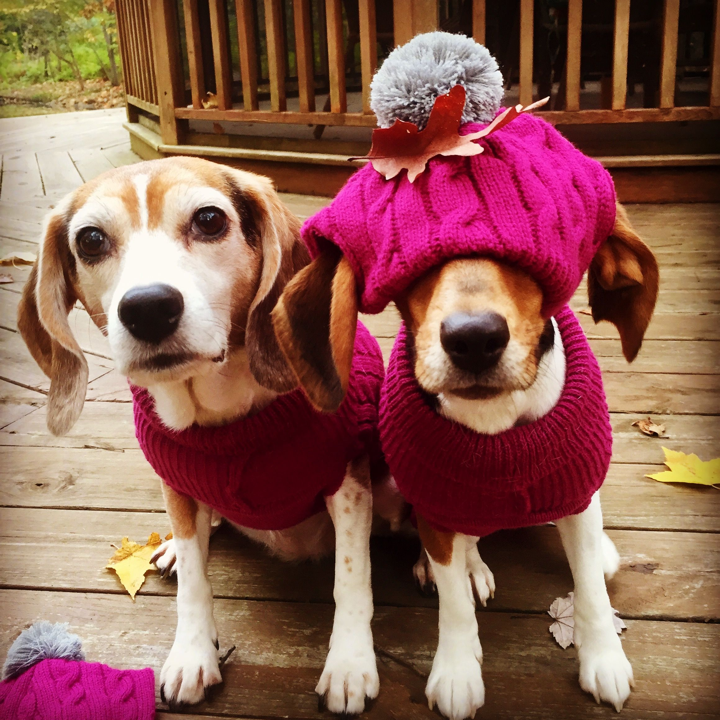 Michigan Fall Beagle Fun Beagle Puppy Beagle Cute Animals