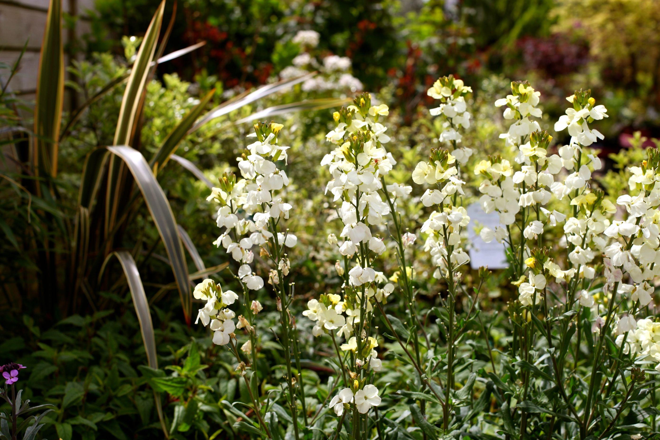 Erysimum Rysi Moon A Perennial Wallflower With Very Fragrant