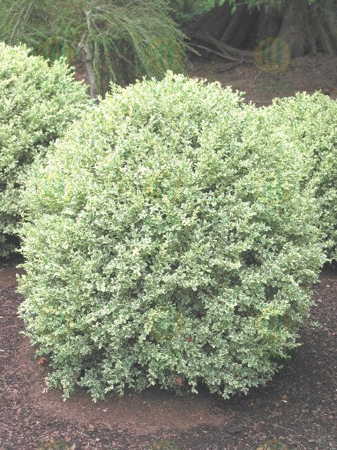 dwarf variegated boxwood - google