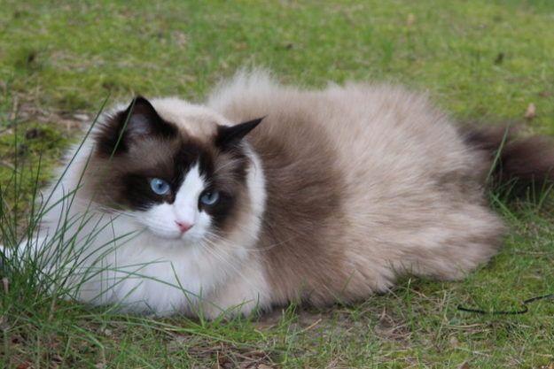 Pasha Ragdoll Of The Week Ragdoll Cat Lady Starter Kit Ragdoll Cat
