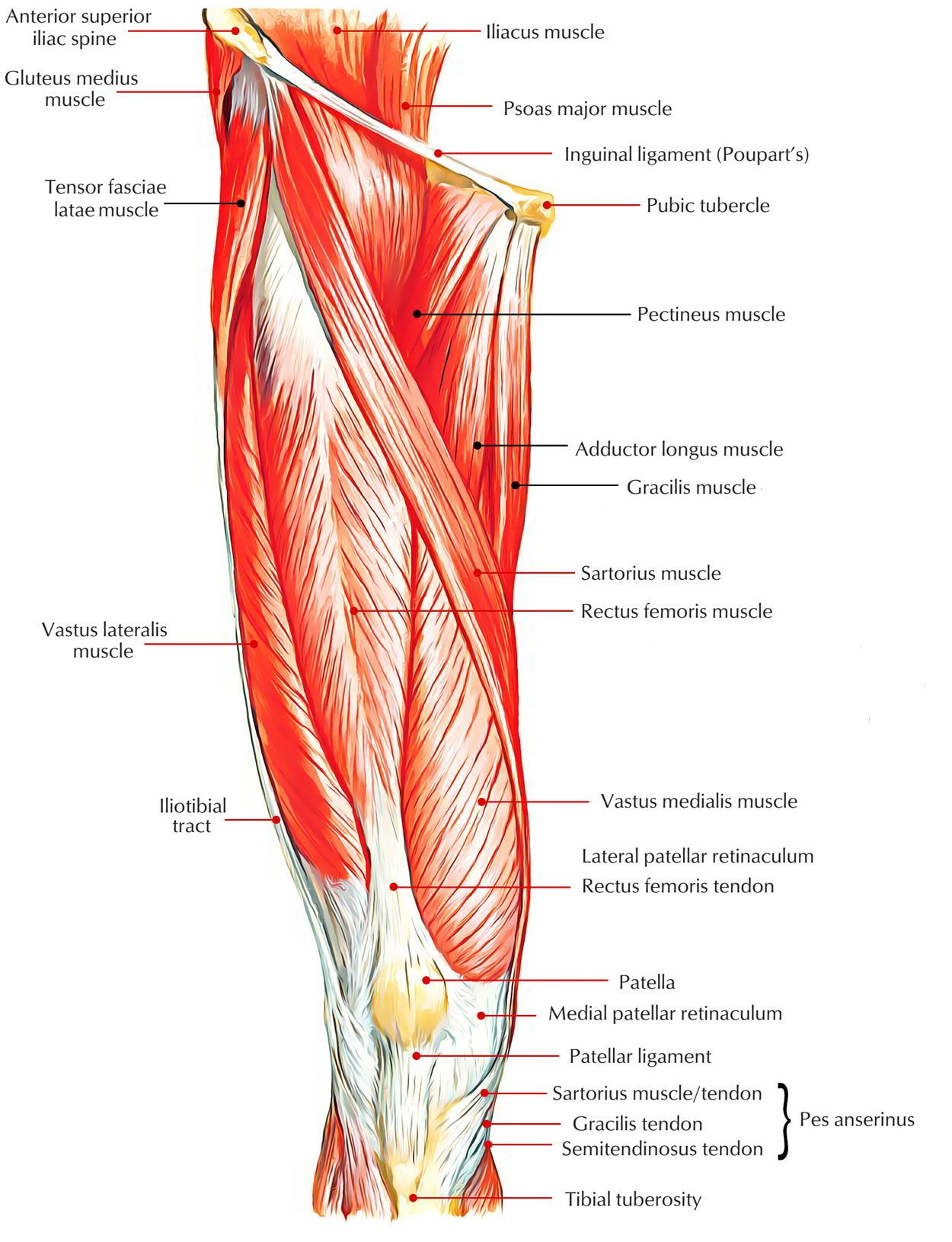 Easy Notes On 【Muscles of Anterior Compartment of The Thigh ...