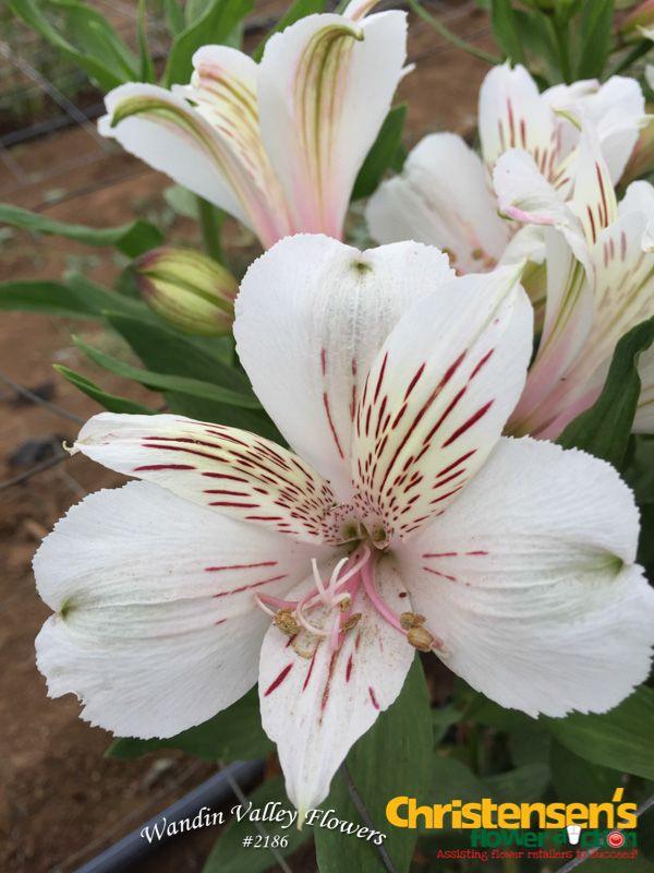 Giant white white alstroemeria flowerauction giant white white alstroemeria flowerauction wandinvalleyflowers mightylinksfo