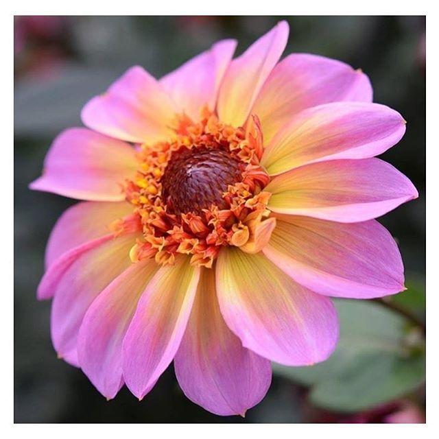 437733899c87 Colour appreciation!! 🌈 Dahlia by  merrybeebuzz xxxx